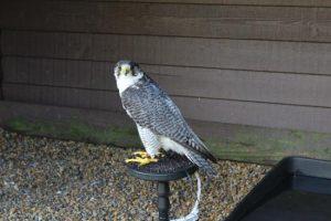6D Visit from Kielders Birds of Prey Centre